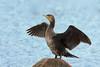 Great cormorant, Skarv, Phalacrocorax carbo, Gilleleje, Danmark, Aug-2014