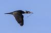 Great cormorant, Skarv, Phalacrocorax carbo, Vaserne, Holte, Danmark, Apr-2015