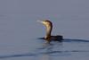 Great cormorant, Skarv, Phalacrocorax carbo, Vaserne, Danmark, Apr-2014