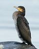 Great cormorant, Skarv, Phalacrocorax carbo, Juvenile, Gilleleje, Danmark, Dec-2014
