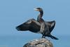 Great cormorant, Skarv, Phalacrocorax carbo, Gilleleje, Danmark, Aug-2016