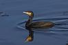 Great cormorant, Skarv, Phalacrocorax carbo