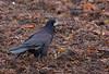 Rook, Råge, Corvus frugilegus, Helsingør, Danmark, Nov-2012