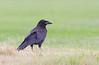 Rook, Råge, Corvus frugilegus, Juvenile, Holte, Danmark, Aug-2012