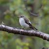 Broget fluesnapper, Pied flycatcher, Ficedula hypoleuca, female