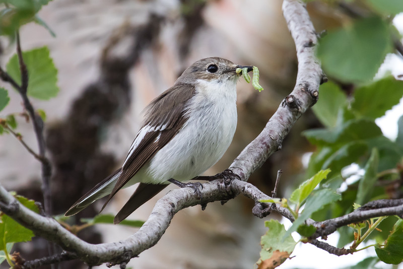 Broget fluesnapper, Pied flycatcher, female, Vájsáluokta, Sverige, July-2016