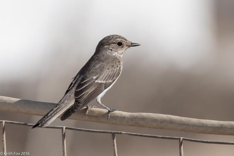 Spotted flycatcher, Muscicapa striata, Avlona, Sept 2016