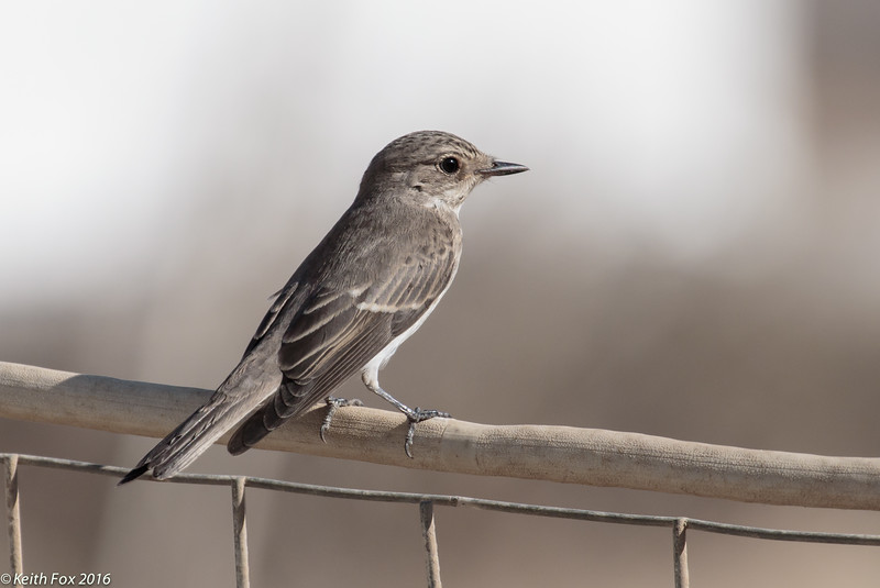 Spotted flycatcher, Grå fluesnapper, Muscicapa striata, Avlona.