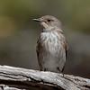 Spotted flycatcher, Muscicapa striata, Diafani, Karpathos, Sept 2017