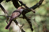 Swainson's flycatcher, Mosqueta parda, Myiarchus swainsoni, Carmelo, Uruguay, Dec-2012