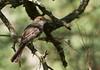 Swainson's Flycatcher, Myiarhus swainsoni, Carmelo, Uruguay, Dec-2012