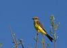 Tropical Kingbird, Tyrannus melancholicus, Carmelo, Uruguay, Dec-2012
