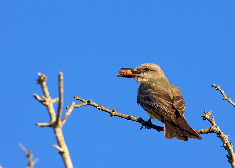 Tropical Kingbird, Tropisk Kongetyran