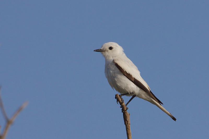 White monjita, Viudita blanc común, Xolmis irupero, Aguas Dulces, Uruguay, Dec-2012