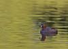 Little Grebe, Lille lappedykker, Tachybaptus ruficollis