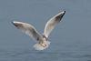 Common black-headed gull, Hættemåge, Larus ridibundus