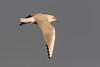 Common black-headed gull, Adult winter, Larus ridibundus