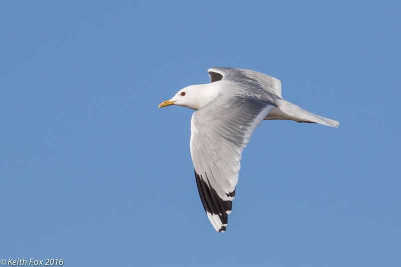 Stormmåge, Common gull, Larus canus, Svaneke, Bornholm, May-2016