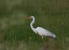 Great egret, Garza blanca grande, Egretta alba, Carmelo, Uruguay, Dec-2012