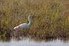 Great egret, Egretta alba, Vestamager, Danmark, Oct-2014