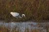 Great egret, Egretta alba, Sølvhejre