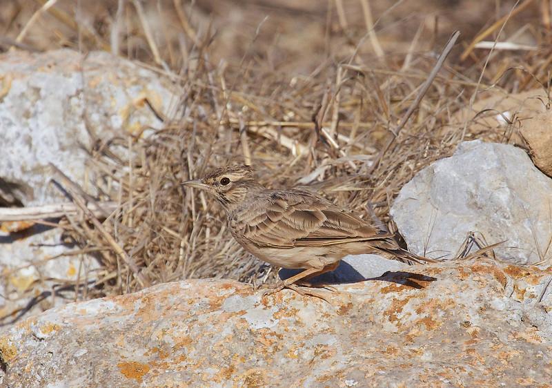 Crested lark, Toplærke, Galerida cristata, Karpathos, Greece, Aug-2013