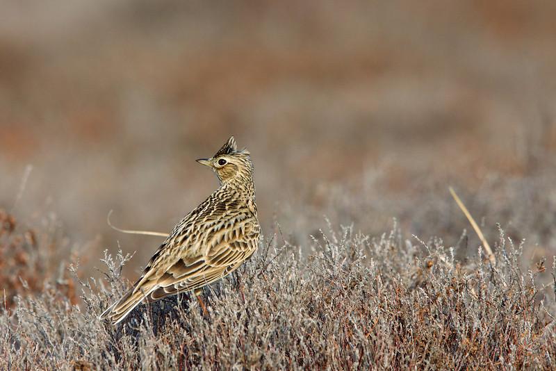 Eurasian Skylark, Sanglærk, Melby, Danmark, Apr-2011