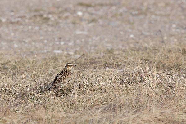 Wood lark