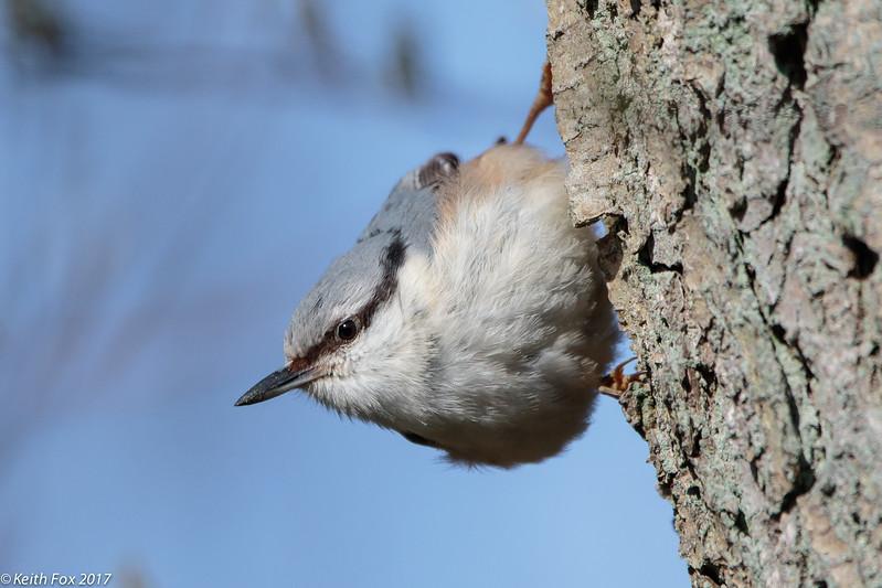 Eurasian nuthatch, Sitta europaea, Holte, Danmark, Apr-2017