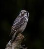 Northern Hawk-owl, Høgugle, Surnia ulula, Hareskov, Danmark, Oct-2012
