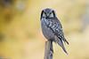 Northern hawk owl, Høgeugle, Surnia ulula, Kongelunden, Danmark, Nov-2016