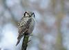 Northern hawk-owl, Høgeugle, Surnia ulula, Hareskov, Danmark, Dec-2013