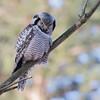 Northern hawk owl, Høgeugle, Surnia ulula, Kongelunden, Danmark, Jan-2017