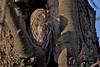 Tawny Owl, Natugle