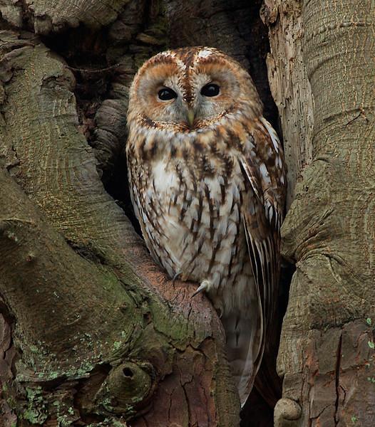 Tawny Owl, Natugle, Frederiksværk, Danmark, Dec-2009