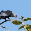 Seychelles blue pigeon, Alectroenas pulcherrima, La Digue, Seychelles, Feb-2016
