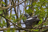 Common Woodpigeon, Ringdue, Gl.Holte, Danmark, May-2011