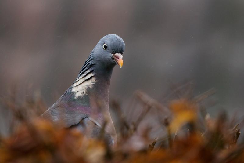 Common Woodpigeon, Columba palumbus, Ringdue, Gl. Holte, Danmark, Jan-2015