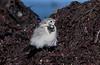 Motacilla alba, White wagtail