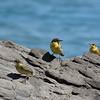 Yellow wagtail, Motacilla flava feldegg