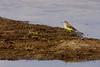Yellow Wagtail, Gul Vipstjert, Motacilla flava, Vestamager, Danmark, Vestamager, Danmark, Aug-2010