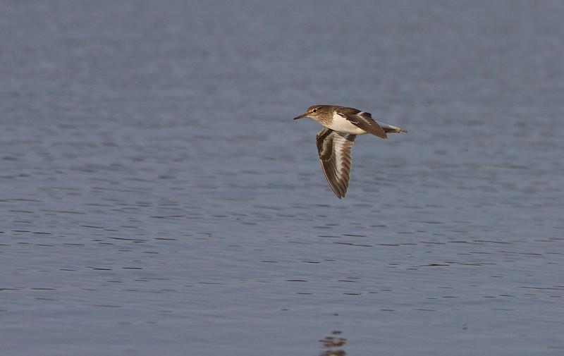 Common Sandpiper, Mudderklire, Actitis hypoleucos, Vaserne, Holte, Danmark, May-2013