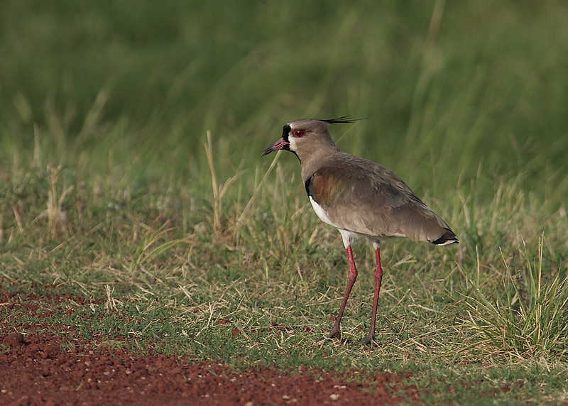 Southern Lapwing, Sydvibe