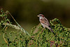 House Sparrow, Gråspurv