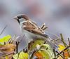 House sparrow, Gråspurv, Passer domesticus, Male, Gl. Holte, Danmark, Jan-2014