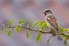 House sparrow, Gråspurv, Passer domesticus, Male, Gl. Holte, Danmark, Oct-2014