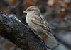 House sparrow, Gråspurv, Passer domesticus, Female, Gl. Holte, Danmark, Nov-2014