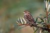 House Sparrow, Gråspurv, Passer domesticus, Nivå, Danmark