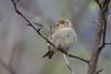 House sparrow, Gråspurv, Passer domesticus, Abisko, Sverige, Jul-2013