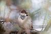 Gråspurv, House Sparrow